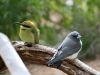 White-Breated Woodswallow and Rainbow Bee-Eater, Alice Springs Desert Park