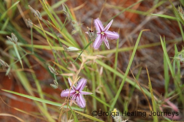 Fringed Lily - the last thing I expected to find in central Australia