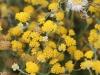 One of the many Sunrays, Rhodanthe genus.