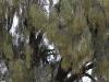 The lovely foliage of the Desert Oak