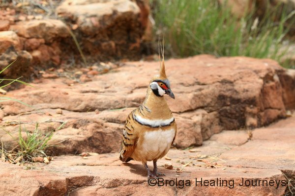 Spinifex Pigeon. This beautiful bird is commonplace along the walks around Kings Canyon