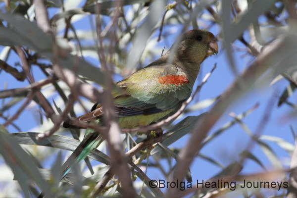 Female Mulga Parrot - our first sighting in three years!