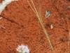 Native wasp hovering