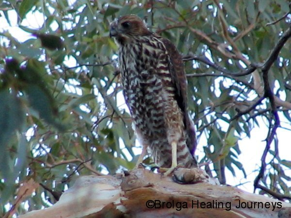Brown Goshawk, near Wilpena Pound, Flinders Ranges, South Australia