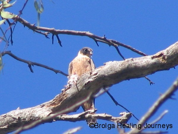 Australian Hobby dines on an unfortunate small bird, high up in eucalypt.  Mt Remarkable Ntl Pk SA