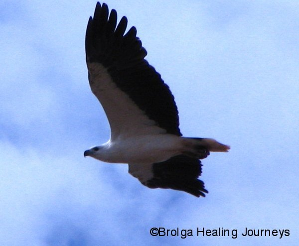 Close-up of White-Bellied Sea Eagle, Carawine Gorge, the Pilbara WA