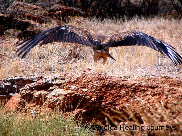 Whistling Kite, Alice Springs Desert Park