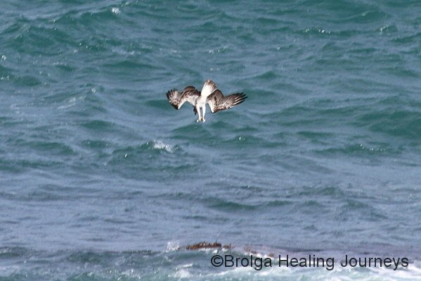 Osprey dives into ocean for food.  Near Royston Head, Innes Ntl Pk