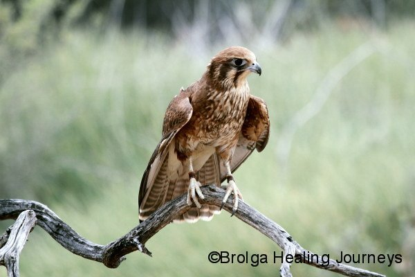 Brown Falcon, Alice Springs Desert Park