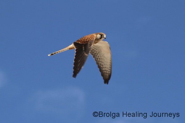 Nankeen Kestrel, Scotia sanctuary