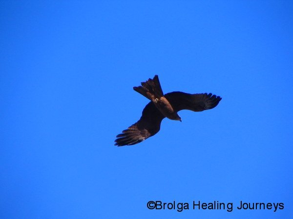 Black Kite, Alice Springs area