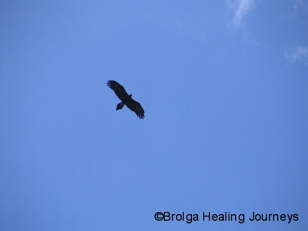 Adult Wedge-Tailed Eagle high above Healesville Sanctuary.  This bird was the reason the young Eagle was looking nervous.