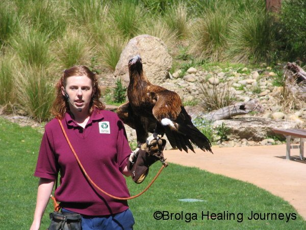 Young Wedge-Tailed Eagle, part of the show at Healesville Sanctuary, looks up nervously as a wild adult soars overhead.