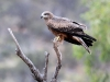 Black Kite, Alice Springs Desert Park