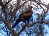 Wedge-Tailed Eagle, Wooramel River, Murchison region WA