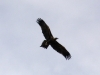 Wedge-Tailed Eagle showing its distinctive wedge or diamond shaped tail