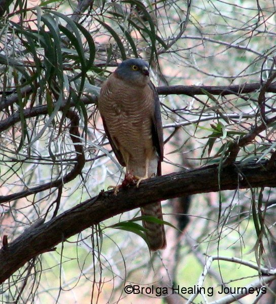Collared Sparrowhawk (I think), Kennedy Ranges Ntl Pk, WA