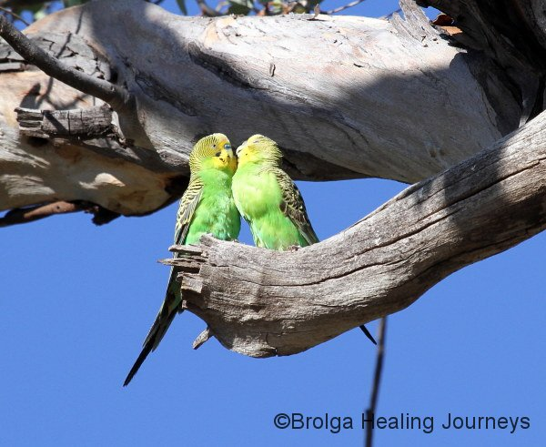 Adult Budgerigar feeding its young.  The youngster has a distended 'crop' from so much food in a bountiful time.  Its chest appears ready to explode!