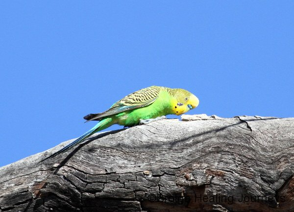 It seems everywhere you look there are Budgerigars.