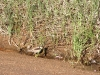 A Black-Fronted Dotterel attempts to hide from the photographer, Jay Creek