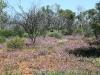 Mulla Mulla, Owen Springs Reserve