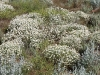 White Paper Daisies, West MacDonnell Ranges