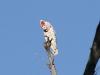 A rare Major Mitchell's (Pink) Cockatoo, Jay Creek