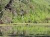 A tiny Australasian Grebe in Jay Creek