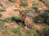 Male Wallaroo, Alice Springs district