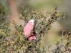 Galah eating Wattle Seeds, near Todd River