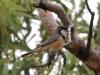 A male Rufous Whistler in song, Alice Springs Desert Park