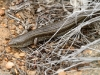 A Desert Skink, I think, though don't quote me on that.