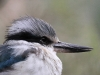 Close up, face of Red-Backed Kingfisher