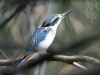 Red-Backed Kingfisher, Alice Springs