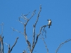 Red-Backed Kingfisher surveys the countryside from on high, Rocky Gap walk, West MacDonnell Ranges