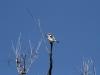 Red-Backed Kingfisher, Woodland Walk