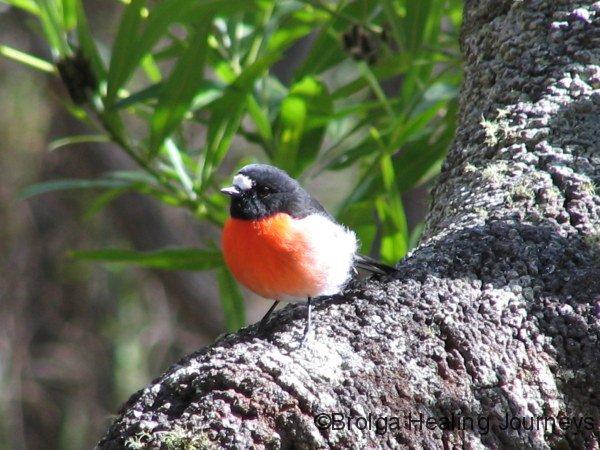 Scarlet Robin, Crystal Springs campsite, D'Entrecasteaux National Park, WA