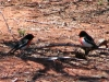 Two male Red-Capped Robins, Gundabooka Ntl Pk, NSW