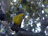 Eastern Yellow Robin, Bunya Mtns National Pk, QLD