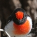Male Red-Capped Robin, close-up