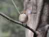 Female Red-Capped Robin, Alice Springs.