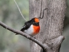 Male Red-Capped Robin, Alice Springs
