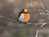 Male Red-Capped Robin, Alice Springs.  Sorry, I can't resist photographing these little guys!