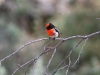 Male Red-Capped Robin.  This little fellow was really annoyed that we were in his territory. Mt Remarkable Ntl Pk