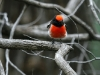 Another shot of the male Red-Capped Robin. Mt Remarkable