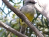 Western Yellow Robin, Lincoln National Pk, SA