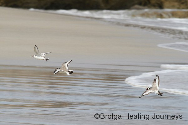 A rare and thrilling sight!  The endangered Hooded Plover - two adults & a juvenile. Beach near the mouth of the Rocky River, Flinders Chase National Park.