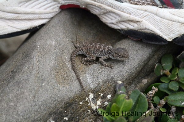 A young Tawny Dragon shelters beneath Nirbeeja's shoe on the Snake Lagoon walk