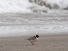 Hooded Plover, waves crashing in background