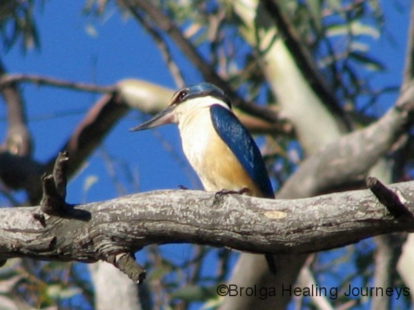 Sacred Kingfisher sits high in a gum tree, Mt Remarkable National Park, South Australia